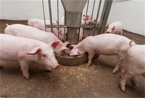 养猪场老板对猪病防治常见的几个误区,你都知道吗?