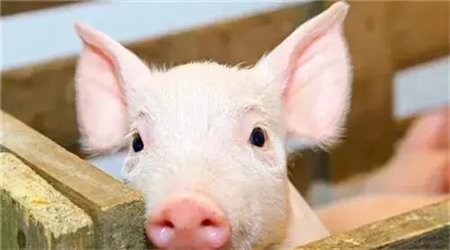 母猪在分娩过程中有哪些需要注意的地方?