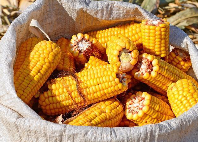 临储玉米累计成交5195万吨,新玉米局地开秤价涨400元/吨,禽料中大幅调减玉米比例