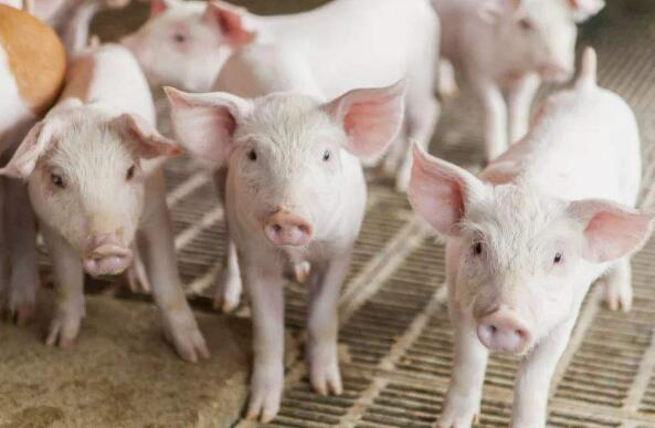 """西平县农业综合行政执法大队芦庙中队严把""""五关""""确保外调仔猪质量安全"""
