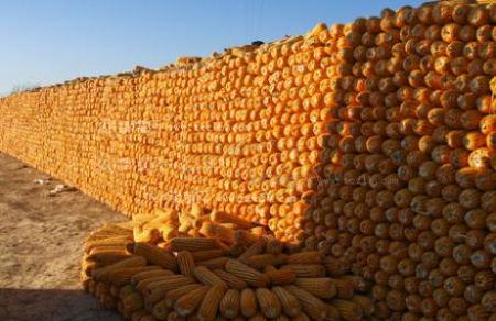玉米价格:市场再现回暖行情,下行调整将告一段落了吗