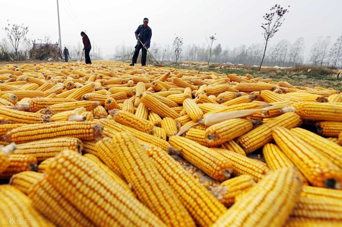 """玉米、小麦、水稻价格""""接力涨"""",下半年走势如何?能破1块5吗?"""