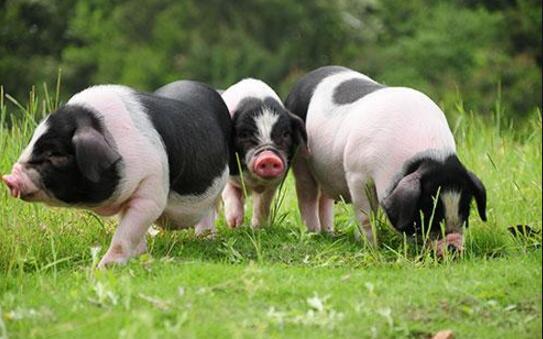 从养猪场设计浅谈环境污染治理,建猪场如何降低污染?