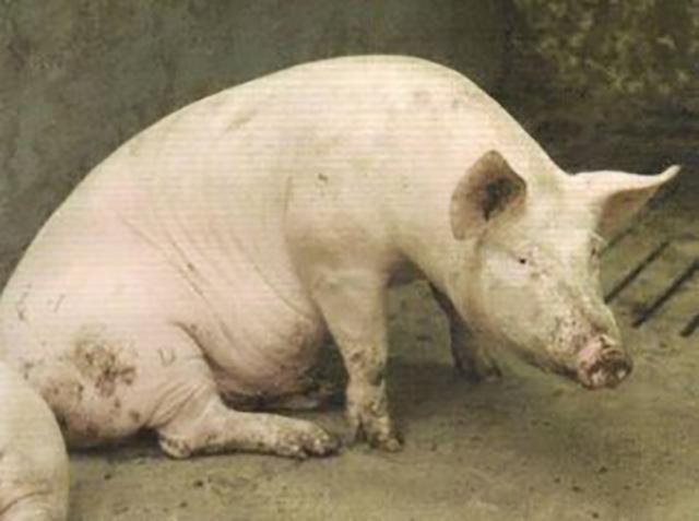 猪神经症状可能是哪些原因,怎么鉴别诊断?