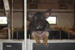 配种管理3:教你如何培养一头训练有素的公猪