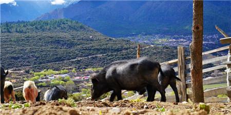 四川仁寿:跳起摸高 为全省生猪生产保供作贡献