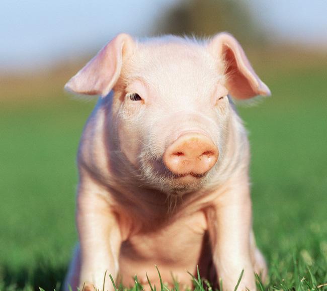 猪场建设最容易犯的N个错误--空间设计、场内设施后续