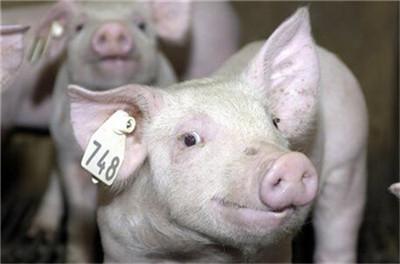"""平原鲁望集团打造""""猪—沼—粮""""种养循环综合体"""
