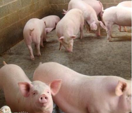 巫溪谭经宇:养猪事业成就脱贫致富路