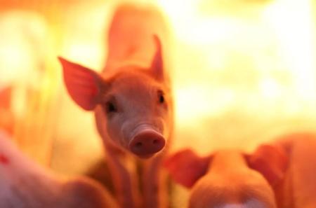8月24日全国20公斤仔猪价格表,广西博白为今日最高报价,单价为3000元每头!