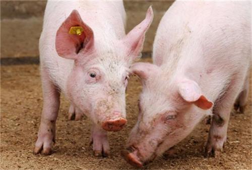 30年养猪经验:饲料加上一把小苏打,猪长得又快又肥