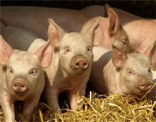 母猪奶水不足,导致仔猪营养跟不上,如何成活?