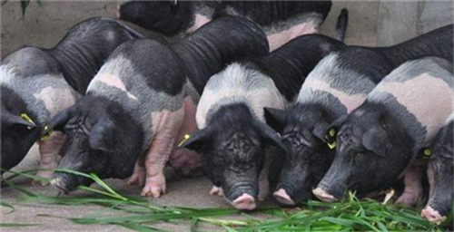 不要钱的五味喂猪法, 猪不增重都很难!!!