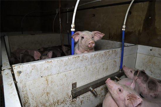 英国高标准养猪场被曝虐待动物,活猪饿成皮包骨,死猪被同类啃食