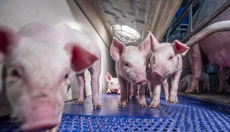 猪场饲料的隐性浪费,减少饲料隐性浪费对提升猪场经济效益