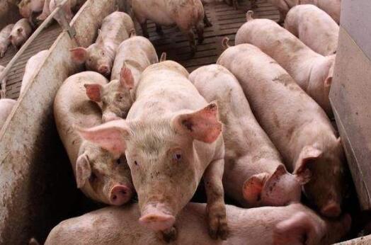 湖南:生猪产能加快恢复 875个规模猪场陆续建成投产