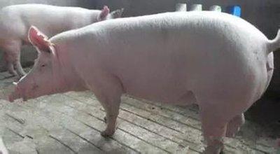 目前育肥猪阶段肢体病多发的几个问题和原因分析及其病症的有效防治措施