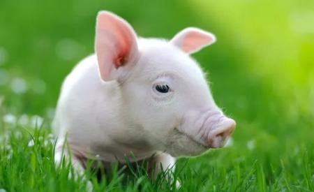 8月25日全国15公斤仔猪价格表,湖北孝南外三元仔猪今日报价为3600元每头!