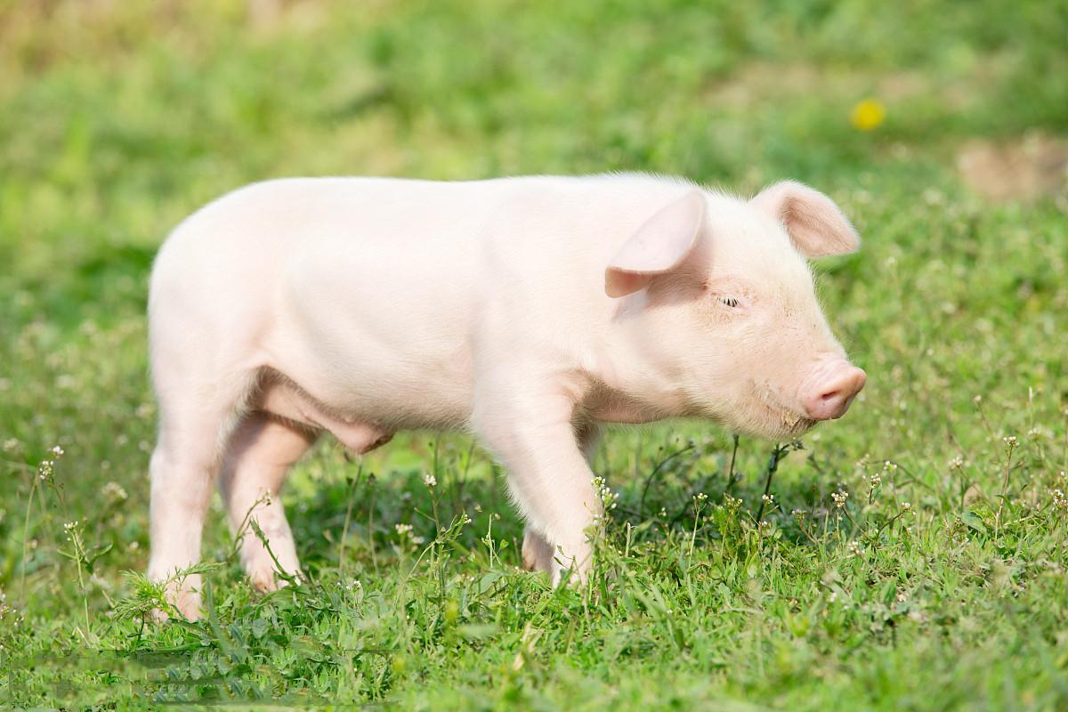 8月25日全国20公斤仔猪价格表,云南寻甸今日外三元仔猪价格为130元每公斤!