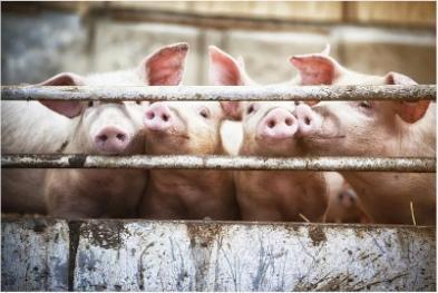 总投资超90亿元!广州推进18个新改扩建生猪养殖项目