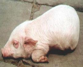 仔猪水肿病与饲料营养之间究竟有啥关系,科学预防水肿病,保证仔猪的健康成长