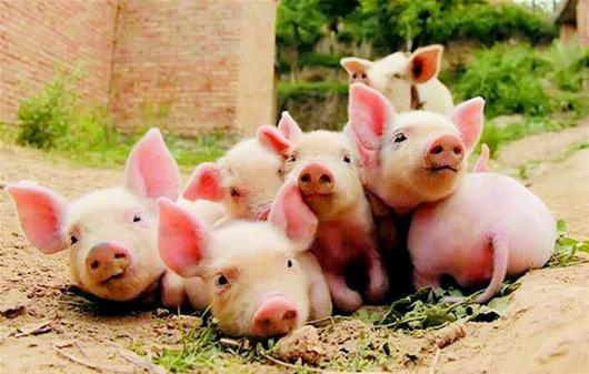 猪场如何做好仔猪护理工作,让仔猪健康成长,提高仔猪出栏率?