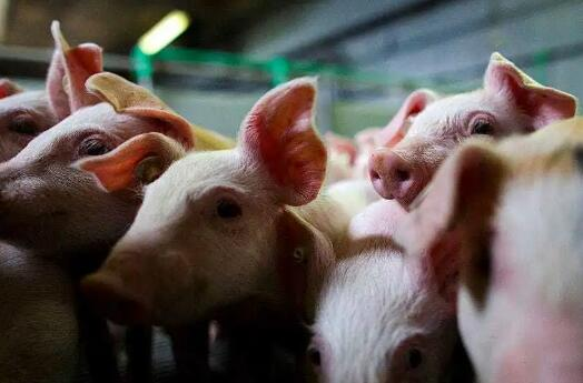 河北保定:年内新增生猪出栏近100万头