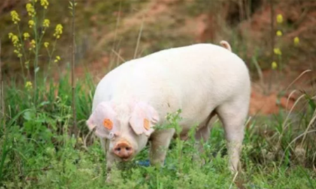 8月25日全国内三元生猪价格行情,大部分地区上涨价格在0.1元每公斤左右!