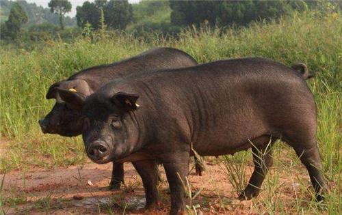 8月25日全国土杂猪生猪价格行情涨跌表,今日猪价涨幅明显放缓!