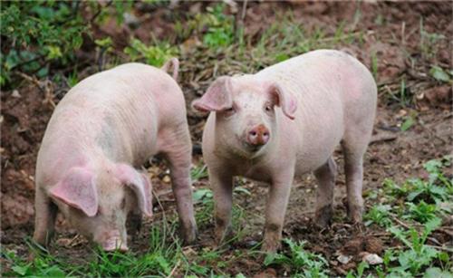 猪价企稳现象依旧突出,猪企计划完成情况不乐观