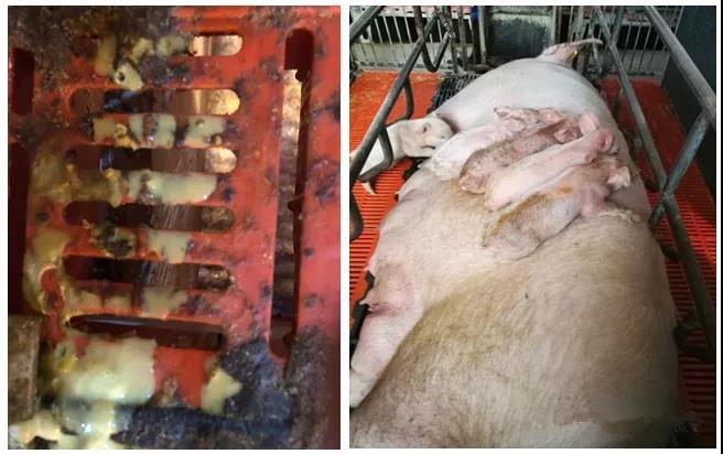 猪病防治:一种新的猪病毒性腹泻感染案例分享