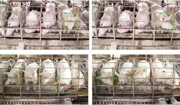 """养猪新模式:AI采集猪表情 智能大脑助""""云养殖"""""""
