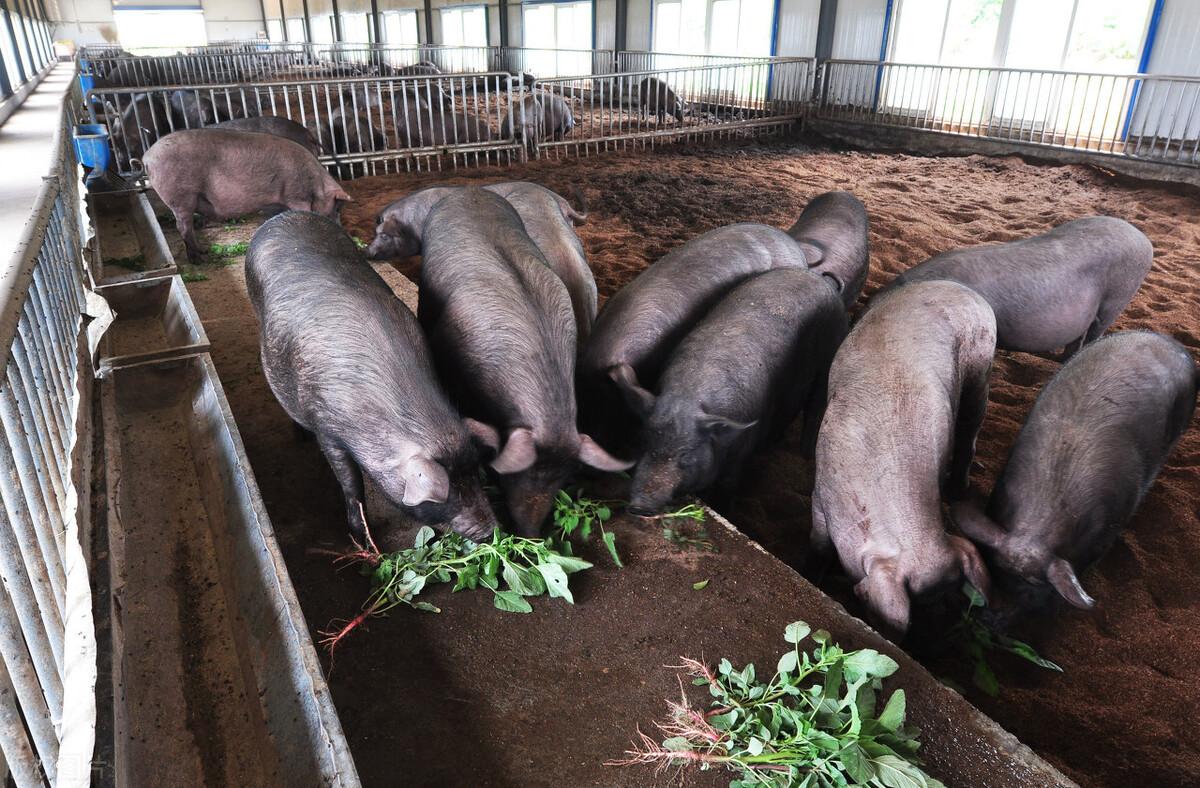 猪肉现状:养猪的笑,卖肉的哭,买肉的愁