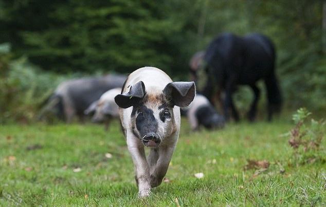 哺乳仔猪和断奶仔猪饲喂有区别,养殖户需注意什么来预防仔猪腹泻