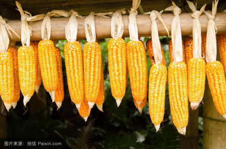 短期上涨无望,持续走货回笼资金, 玉米期货价格还有回调空间!