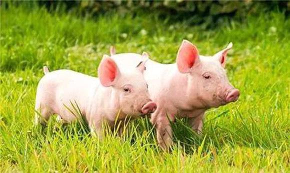8月26日全国15公斤仔猪价格表,湖北孝南今日报价最高!