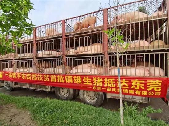 """""""二师兄""""来了!东西部扶贫协作肉猪交易项目首批镇雄生猪抵达东莞!"""