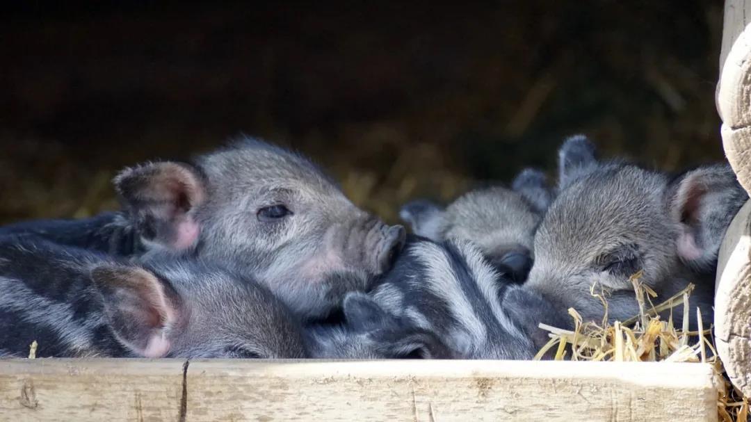 湖南:生猪产能加快恢复,875个规模猪场陆续建成投产,年可新增生猪出栏600万头!