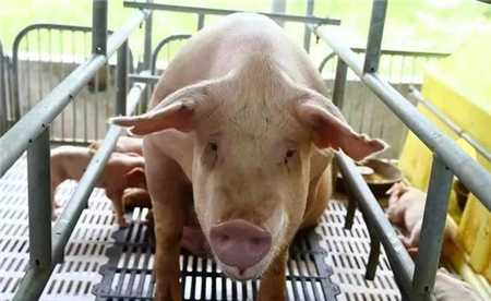 农村是如何喂养母猪,这几点做好了,后期产仔数量绝对多!