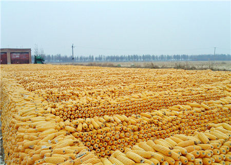8月26日全国玉米价格行情,宏观调控红利释放结束,价格上涨动力不足!