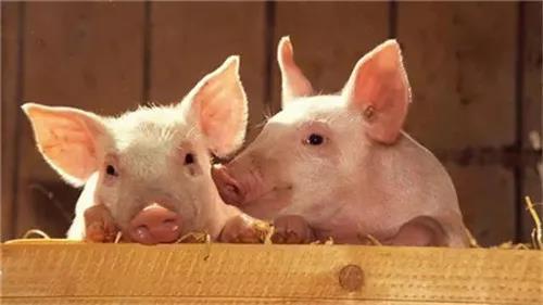 猪吃了饲料后这些变化您注意到了吗?还在坚持认为你是对的吗?