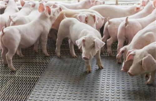 母猪生产过长总是令人担忧,但你知道母猪产程延长的原因吗?以下十点,供你了解!
