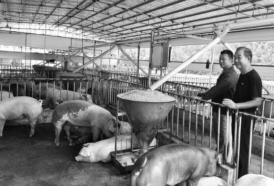 广西北流:返乡创业当猪倌 带着乡亲闯富路