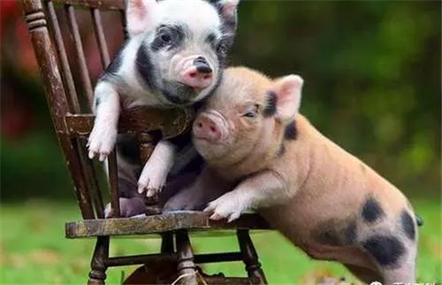 8月27日全国20公斤仔猪价格表,吉林今日仔猪均价为2000元每头!