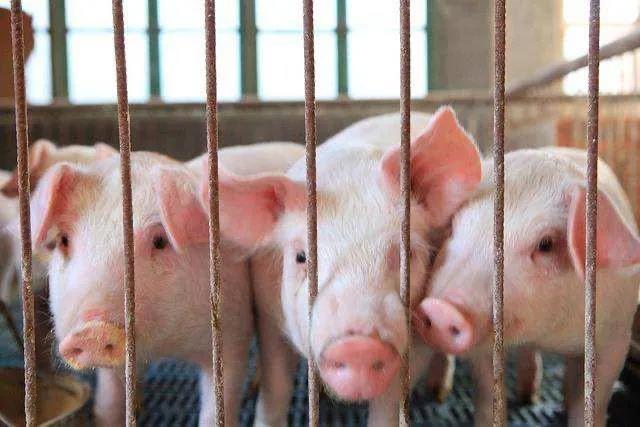 预计到今年下半年,大连市生猪生产将达128万头!