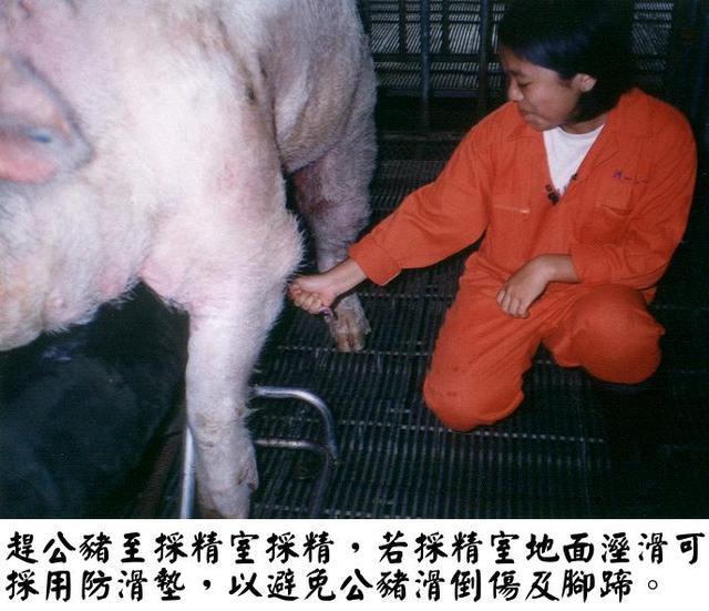 良好的配种技术是母猪生产的关键,以下是有关母猪的配种技术及其方式!