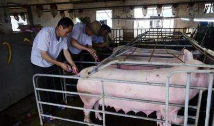 如何给母猪配种,配种成功率更高?看专业人士分享母猪配种经验