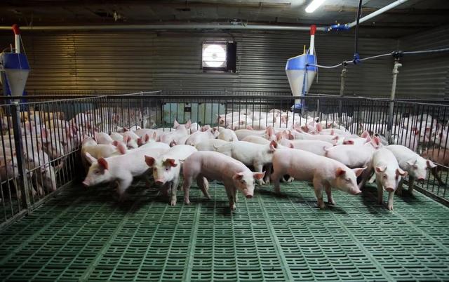 养猪利润释放,疫苗景气高增,市场苗开拓见成效