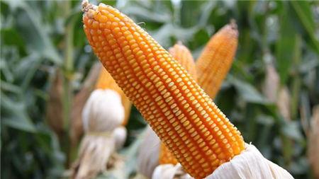 8月28日全国玉米价格行情,玉米价格下行,各个省市上涨居多,后市或将回暖?