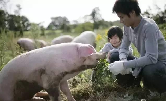 猪也具有喜怒哀乐,养猪人应如何善待!